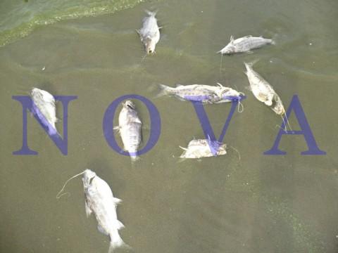 Secco, un kirchnerista contaminado: aparecieron peces muertos en la costa de Punta Lara. Hallazgo en la playa Stella Maris. (Foto: NOVA)