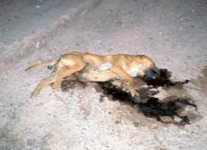 El perro muri� salvajemente atropellado, retorci�ndose de dolor  con los ojos llenos de sangre, en la orilla del camino.